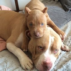 The Pitbull Controversy Cute Dogs And Puppies, Baby Dogs, I Love Dogs, Doggies, Amstaff Terrier, Bull Terrier Dog, Cute Little Animals, Cute Funny Animals, Beautiful Dogs