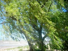 Summer Willow 9