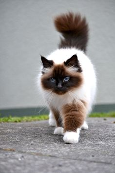 Chocolate-point Birman Cat by jojo22 on DeviantArt