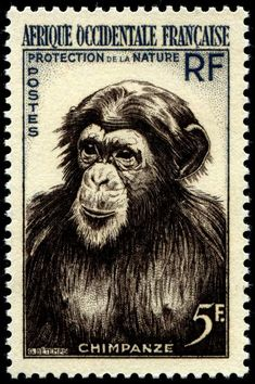 Chimpanze. Protection of the nature. Afrique Occidentale Francaise, AOF (French West Africa),  circa 1955