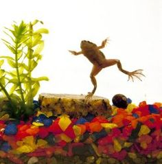 10 Best Tadpoles for Sale images in 2015 | Toad, Tadpole to frog
