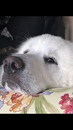 Great Pyrenees so sweet Pyrenees Puppies, Great Pyrenees Dog, Dogs And Puppies, Big Dogs, I Love Dogs, Cute Dogs, Beautiful Dogs, Animals Beautiful, Cute Animals