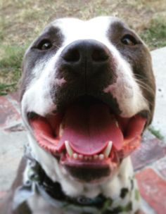 """Amazing perspective on this breed. """"I Swore I'd Never Adopt A Pit Bull -- Until I Did"""""""