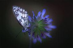 Papillon sur son bleue