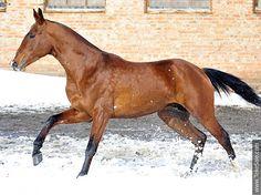 Akhal-teke horses for sale - Demir-Tau(Dartay - Madonna)