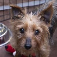Colorado Springs, CO – Yorkie, Yorkshire Terrier. Meet Tilly a Pet for Adoption…. Colorado Springs, CO – Yorkie, Yorkshire Terrier. Yorkshire Terrier Haircut, Yorkshire Terrier Puppies, Terrier Dogs, Yorkie Cuts, Cute Puppy Breeds, Yorkie Puppy, Chihuahua, Cats For Sale, Rescue Dogs