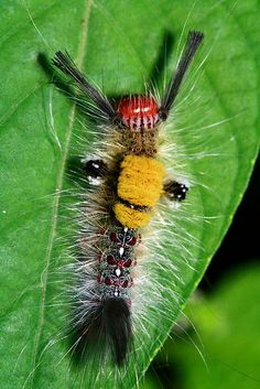 ˚Caterpillar from Singapore