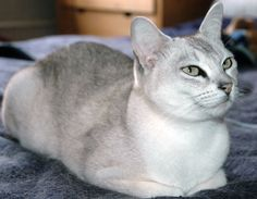 Burmilla cat - mix of Burmese and Chinchilla Persian breeds