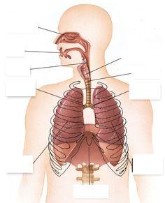 Resultado de imagen de aparato respiratorio mudo