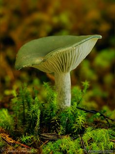 **Aniseed toadstool (Clitocybe odora) - By Javier Fuentes