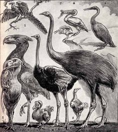 """""""Extinct birds compared to an osterich"""" by Leonard Brightwell, 1941. From, Tetrapod Zoology, Sept 2012"""