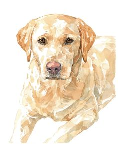 paintings of a yellow labrador dog - Yahoo Image Search Results Labrador Retriever Negro, Labrador Noir, Fox Red Labrador, Golden Retriever, Labrador Puppies, Retriever Puppies, Corgi Puppies, Labrador Golden, Animal Paintings