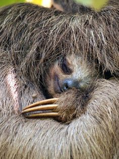 Three Toed Sloth by vilaincrette,123rf.com,: Close up view of Brown throated sloth sleeping,  Costa Rica.