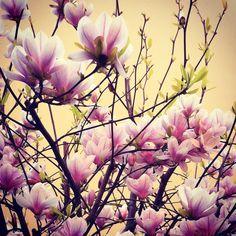 ...inebriami col tuo profumo di primavera! www.megmegagency.com #primavera #spring #magnolia #fiori