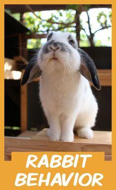 Mini Lop Rabbit, Rabbit Behavior, Indoor Rabbit, Bunny Care, House Rabbit, New Toys, Rabbits, Your Pet, Walmart