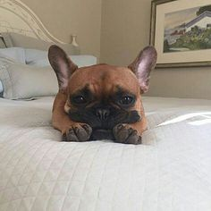 """That sounds really fun and all, but I'm actually going to be busy NOT doing that..."" @brucethefrenchbully, French Bulldog."