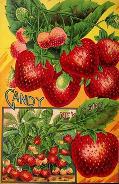 Allen's strawberry catalogue for 1904 Vintage Botanical Prints, Botanical Art, Vintage Art, Strawberry Seed, Strawberry Garden, Garden Catalogs, Seed Catalogs, Vintage Seed Packets, Sprouting Seeds