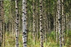 koivupuu - Birch is very hard wood and very useful for furniture use.