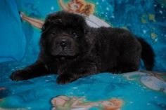 Blue Bear Coat Sar Pei puppy