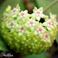 Hoya sp. East of Thailand SRBR-JSNwf Plant