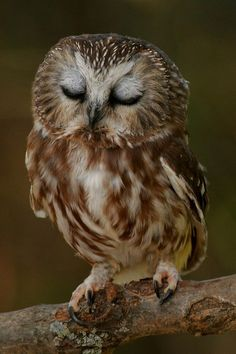 Am I the only one who wants to cuddle this sweet baby owl? Sleepy Saw-whet Owl Owl Photos, Owl Pictures, Owl Pics, Animals And Pets, Baby Animals, Cute Animals, Wild Animals, Beautiful Owl, Animals Beautiful