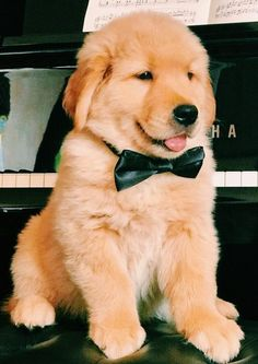 Golden Retriever Puppies He looks so proud of dat' bow tie! Cute Baby Animals, Animals And Pets, Funny Animals, Funniest Animals, Cute Dogs And Puppies, I Love Dogs, Doggies, Puppies Puppies, Retriever Puppies