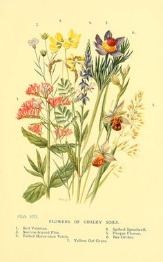 'Flowers of Chalky Soils.' Plate from 'Flowers of the Woods.' by W. S. Furneaux.  (Red Valerian, Narrow-leaved Flax, Tufted Horse-shoe Vetch, Spiked Speedwell, Pasque Flower, Bee Orchis and Yellow Oat Grass).  Published 1909 by Longmans, Green, and Co archive.org