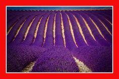 alfazema lavanda francesa sementes importadas flor pra mudas