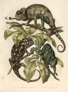 Bilder-Atlas zur wissenschaftlich-populären Naturgeschichte der Wirbelthiere Wien :K.K. Hof-und Staatsdruckerei,1867. biodiversitylibrary.org/page/4024187 4 Tiny new sp. of #chameleons might be smallest reptiles! news.discovery.com/animals/mini-chameleons-120215.html Love this image of chameleons in #bhlib biodiversitylibrary.org/page/4024187