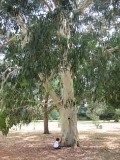 Growing up in the San Fernando Valley area, we had two of these trees. In one of the trees we made a tree-house, it was the best spot to shoot the enemy with our rubber-band guns from ; Eucalyptus Tree, Fast Growing Trees, San Fernando Valley, Majorca, World Information, Book Projects, Farm Gardens, Time Capsule, San Francisco