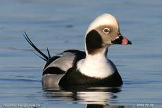 Long-tailed Duck: Ralph Hocken