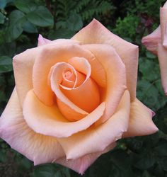 Beautiful Rose Flowers, Flowers Nature, Pink Flowers, Beautiful Flowers, Lavender Roses, Flowers Garden, Exotic Flowers, Pink Roses, Rose Pictures