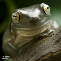 Helvetica - Whites Tree Frog Amphibians, Reptiles, Whites Tree Frog, Red Eyed Tree Frog, I'm Sad, Frog And Toad, Tree Frogs, Creatures, Nature