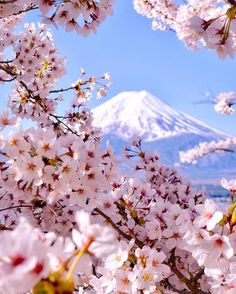Cherry blossom explosion at Mount Fuji & Arakurayama Sengen Park, Japan. Photo by The post Cherry blossom explosion at Mount Fuji appeared first on . Cherry Blossom Japan, Japanese Cherry Blossoms, Japanese Blossom, Japanese Geisha, Japanese Kimono, Japanese Art, Monte Fuji, Beautiful Places, Beautiful Pictures