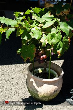 Growing grapes in containers - elegant decor Container Plants, Container Gardening, Grapevine Growing, Grape Trellis, Low Maintenance Garden Design, Pots, Pot Plante, Growing Grapes, Fruit Garden
