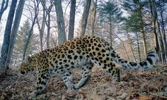 """Great News: Amur Leopard Population Doubles - Director of WWFs global species program was delighted to announce that """"despite still being on the brink of extinction, the Amur leopard is showing encouraging signs of gradual recovery, demonstrating that dedicated conservation efforts do pay off. The collaboration between Russia and China to protect vast areas of suitable leopard habitat is the next key step to protect this species,"""""""