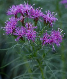 Need a butterfly magnet? Try Vernonia lettermannii, also known as narrow-leaf ironweed. It's a native perennial. The cultivar 'Iron Butterfly' has tiny, royal purple flowers that attract plenty of butterflies.