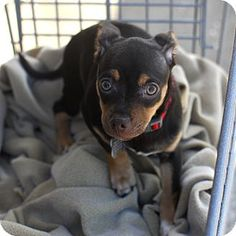 Detroit, MI - Chihuahua Mix. Meet Mocha a Puppy for Adoption.