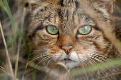 Scottish wild cat (felis silvestris grampia) - Today evidence suggests less than 100 Scottish wildcats remain in the wild, and the extinction of Britain's last large mammal predator could come within the next year.