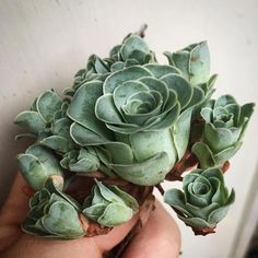 Shaped Succulents Called Greenovia Dodrentalis, these succulents have curved layered petals that make the plants look just like roses.Called Greenovia Dodrentalis, these succulents have curved layered petals that make the plants look just like roses. Succulent Gardening, Cacti And Succulents, Planting Succulents, Container Gardening, Planting Flowers, Cool Plants, Air Plants, Garden Plants, Indoor Plants