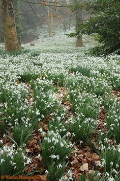 Woodland with Snowdrops  (Galanthus nivalis) of the Amaryllis family. Gloucestershire, England.