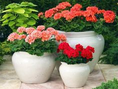 Glorious Enjoy Life With Your Own Flower Garden Beautiful Easy Ideas. Enjoy Life With Your Own Flower Garden Beautiful Easy Ideas. Flower Pots, Garden Containers, Plants, Planting Flowers, Small Plants, Geranium Plant, Flower Gardening Diy, Easy Garden, Flower Garden
