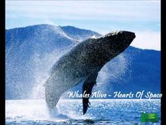 """ Hearts Of Space - Whales Alive "" !... Whales Are Always Singing...Deeply Into All Whumans' Hearts !... https://youtu.be/kSh2SA03WqY"