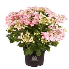 passende hortensien pflege f r wesentlich mehr bl ten hortensien pflege hortensien und pflege. Black Bedroom Furniture Sets. Home Design Ideas