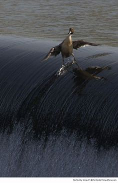 Duck surfing | Perfectly Timed Pics