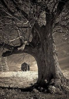 Photograph of old oak in foreground and abandoned farmhouse in background. The h...