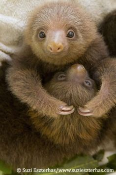 Baby Sloths! And there's a video on here of them in pajamas