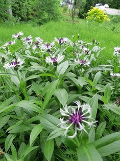 """Centaurea Montana """"Purple Heart"""" at my gardening school. They came out great this year. (The weeds are left for the new student's. Dry Garden, Garden Plants, Planting, Gardening, Purple Garden, New Students, Horticulture, Coming Out, Montana"""