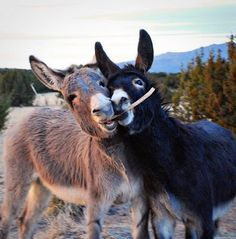 If you wonder what a donkey can eat, you can find all important feeding facts here. Take good care of your donkey with best information. Baby Donkey, Cute Donkey, Mini Donkey, Farm Animals, Animals And Pets, Funny Animals, Cute Animals, Nature Animals, Wild Animals