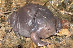 weird animal - Google 搜尋Indian Purple Frog
